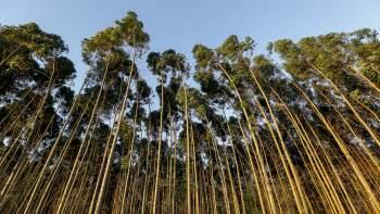 Transgenic Eucalyptus